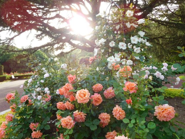 京都植物園の薔薇